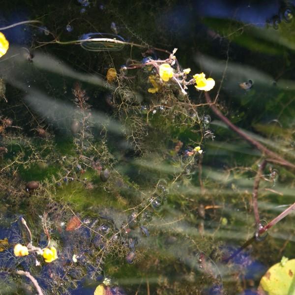 Utricularia vulgaris, Wasserschlauch