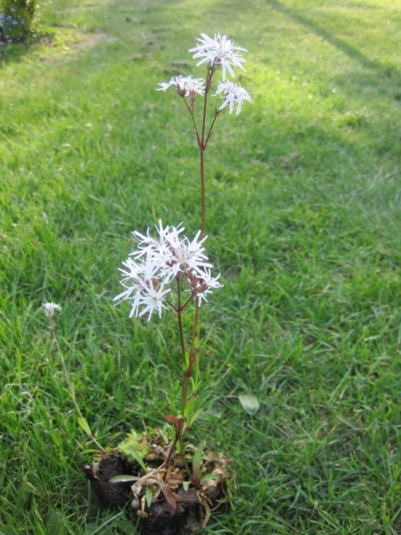 Lychnis flos-cuculi alba, Kuckucksnelke weiß