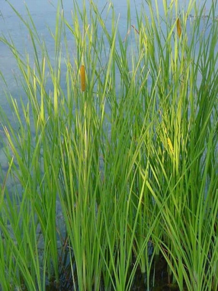 Typha gracilis, Zierlicher Rohrkolben