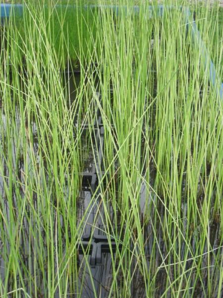 Scirpus lacustris ssp. albescens, Seesimse weiß gestreift