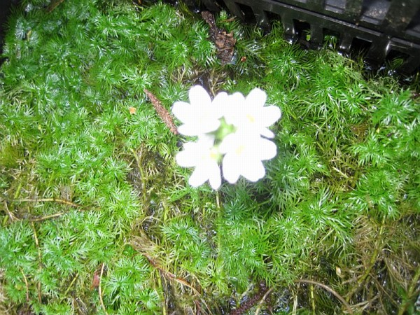Hottonia palustris, Kaltwasserfeder