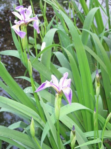 Iris versicolor, Sumpfiris blau