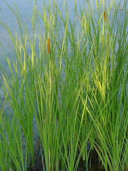 Typha gracilis Hydro