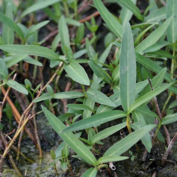 Polygonum amphibium, Wasserknöterich
