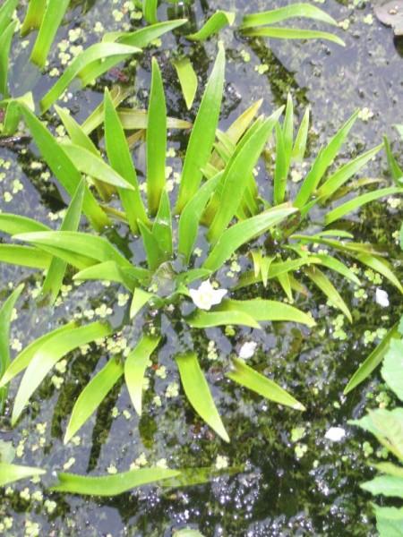 Stratiotes aloides, Wasseraloe, Krebsschere