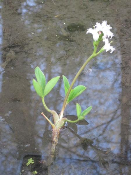 Menyanthes trifoliata, Fieberklee