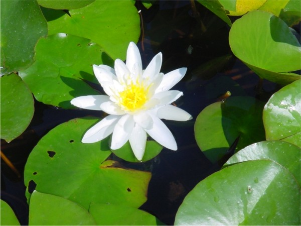 Nymphaea Heaver White