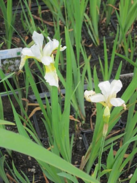 Iris sibirica alba, Iris weiß