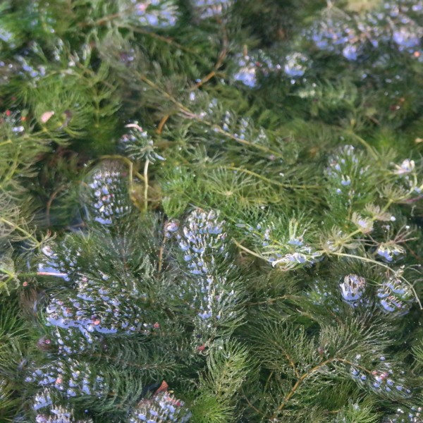 Ceratophyllum demersum, Hornkraut