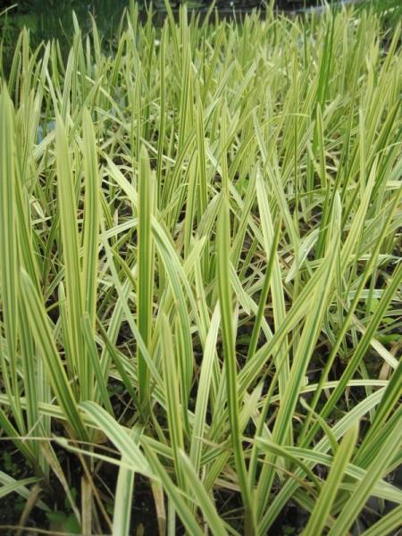 Glyceria spec. variegata, Buntes Süßgras