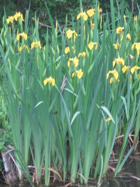 Iris pseudacorus, Gelbe Sumpfiris