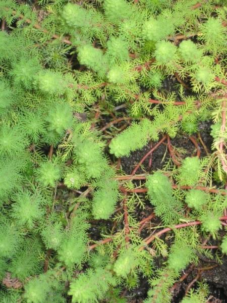 Myriophyllum aquaticum, Bras. Tausendblatt