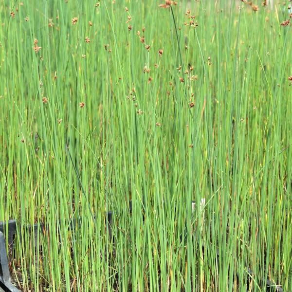 Scirpus lacustris Hydro
