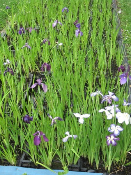 Iris kaempferi, Iris gemischt