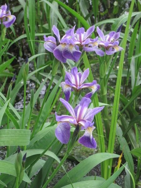 Iris versicolor/setosa
