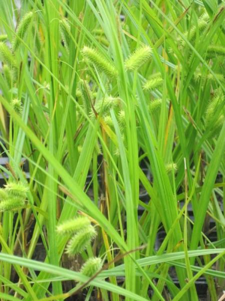 Carex pseudocyperus, Scheinzypersegge