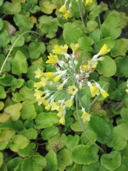 Primula florindae, Glockenprimel