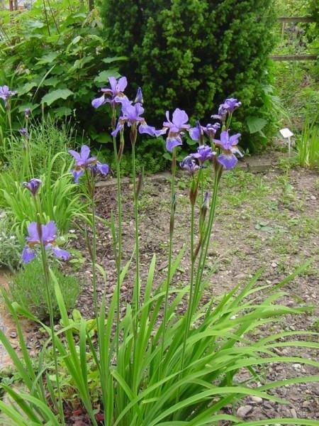Iris sibirica blau, Blaue Sumpfiris