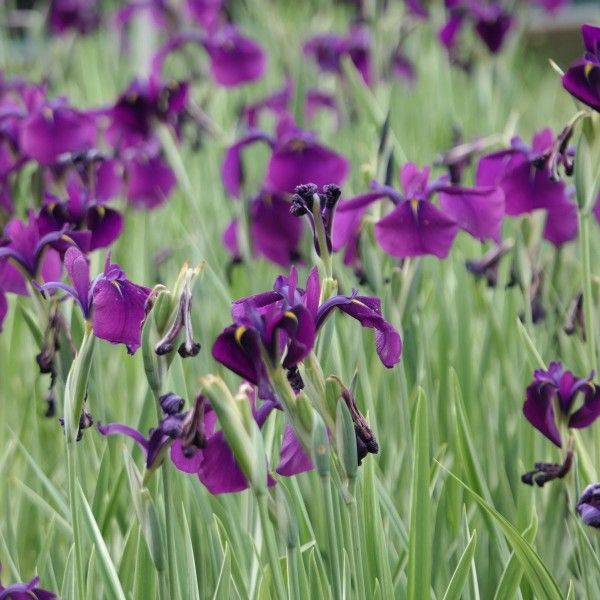 Iris laevigata var., Sumpfiris blau gestreift