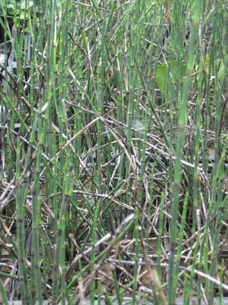Equisetum hyemale robustum, Teichschachtelhalm