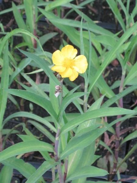 Ranunculus lingua, Hahnenfuß