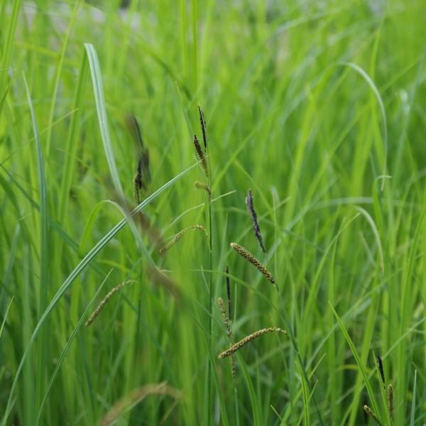 Carex acuta, Sumpfsegge