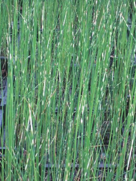 Scirpus tabernaemontani zebrin., Zebrasimse