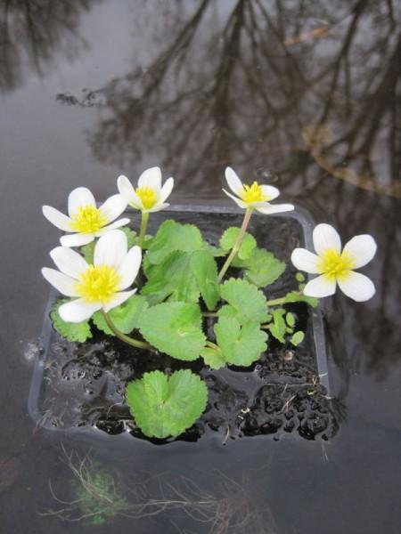 Caltha palustris alba, weiße Dotterblume