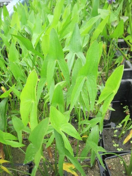 Sagittaria latifolia, Breitblättriges Pfeilkraut