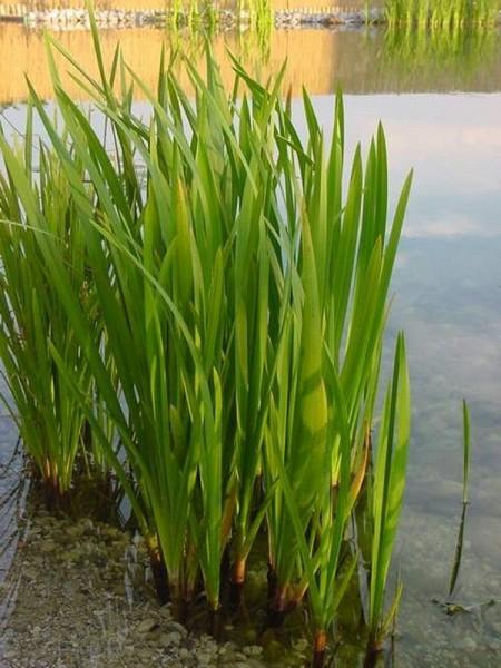 Glyceria maxima, Grüner Wasserschwaden