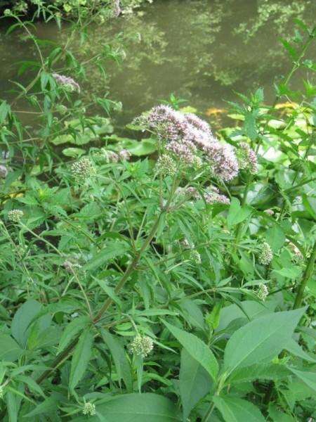 Eupatorium cannabinum, Wasserdost