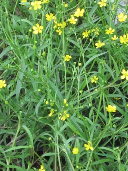 Ranunculus flammula, Brennender Hahnenfuß