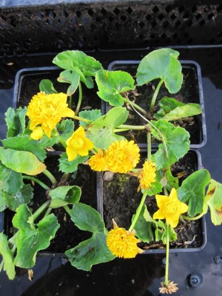 Caltha palustris multiplex, gef. Dotterblume