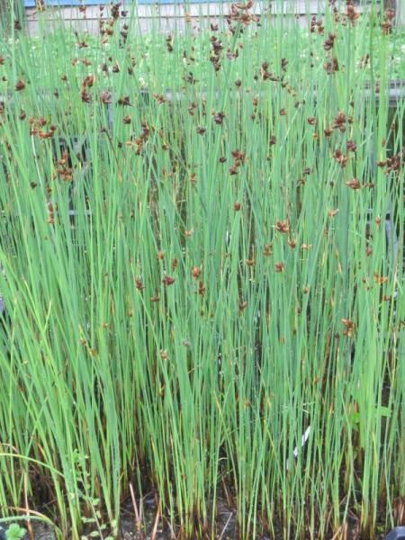 Schoenoplectus lacustris/Scirpus lac., Seesimse