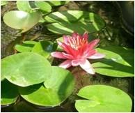 Nymphaea Pygmaea rubra