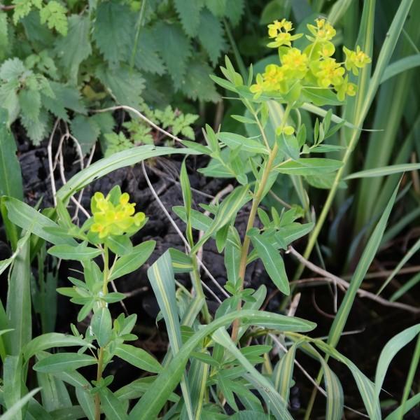 Euphorbia palustris, Sumpf - Wolfsmilch