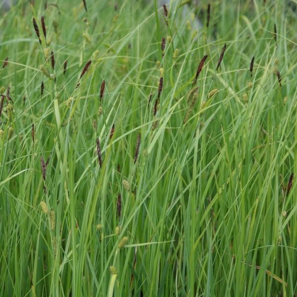 Carex acutiformis, Sumpfsegge