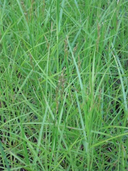 Carex muskingumensis, Palmwedelsegge
