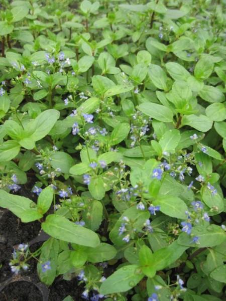 Veronica beccabunga, Bachbunge-Steckling
